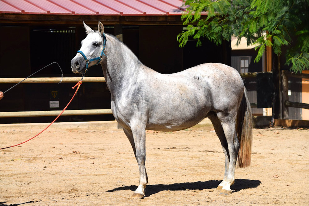 grey andalusian horse in halter