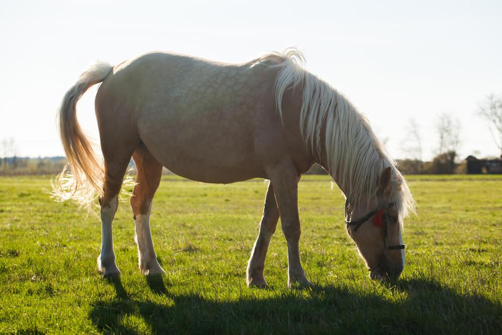 American Cream horse image