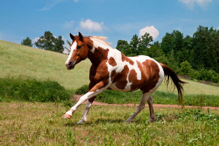 American Paint Horse is grazing around