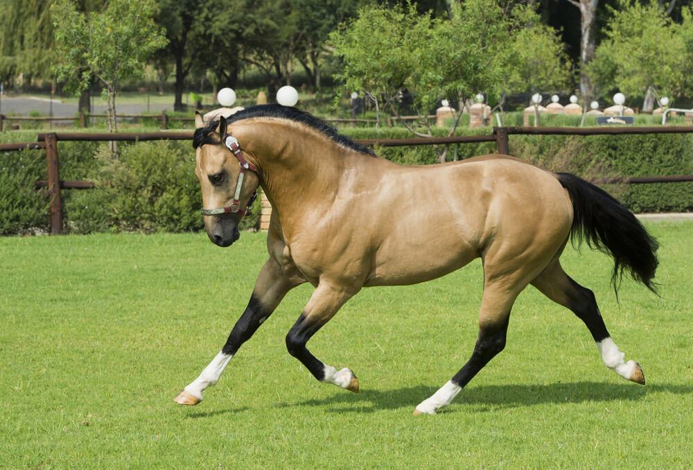 American Quarter Horse Buckskin Stallion