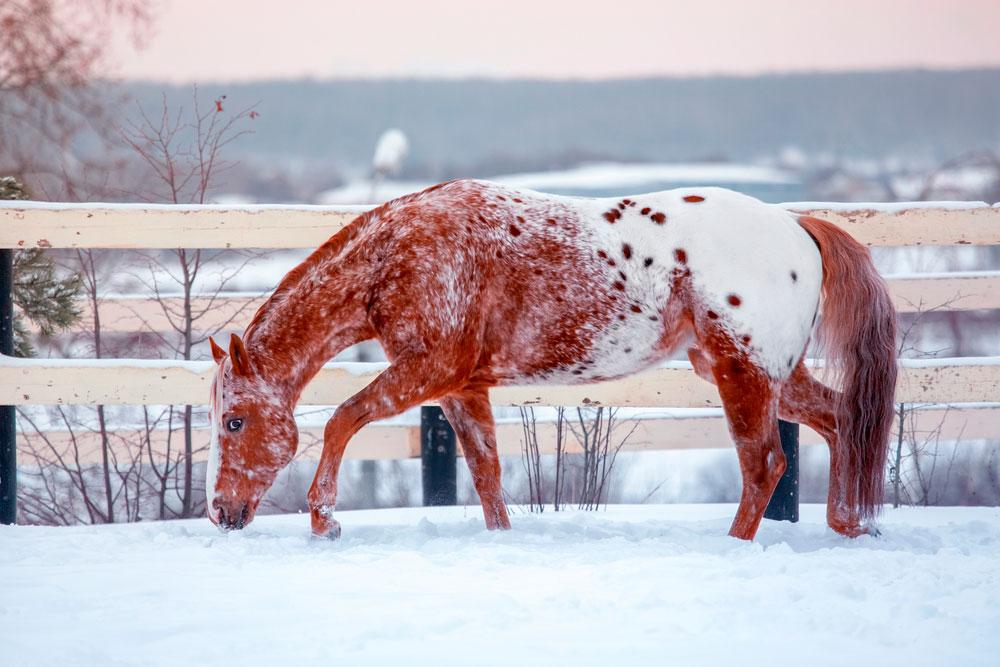 Appaloosa Horse is grazing in winter