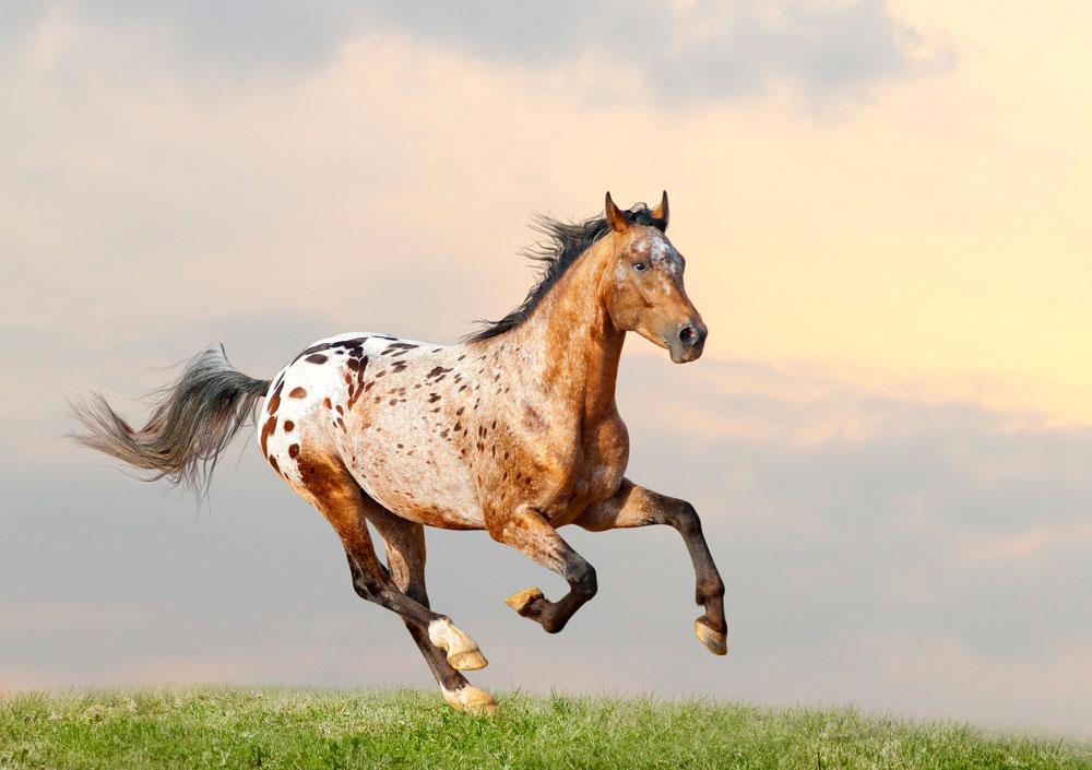 Appaloosa Horse is jumping on meadow