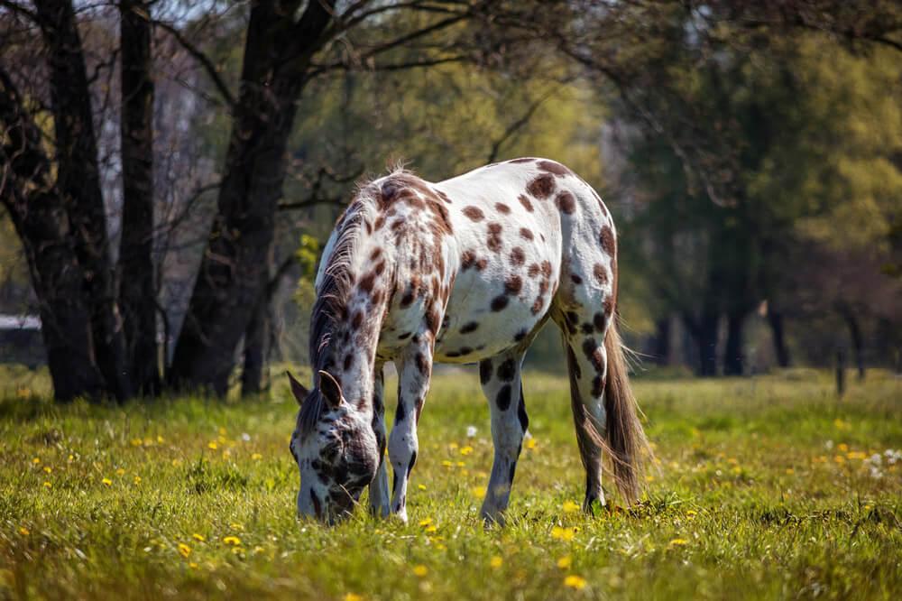 Appaloosa horse coat color