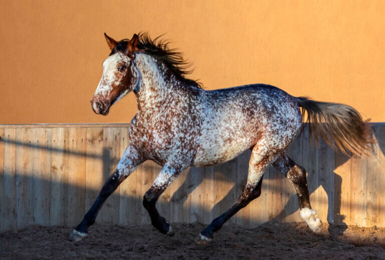 Appaloosa horse with white snowing