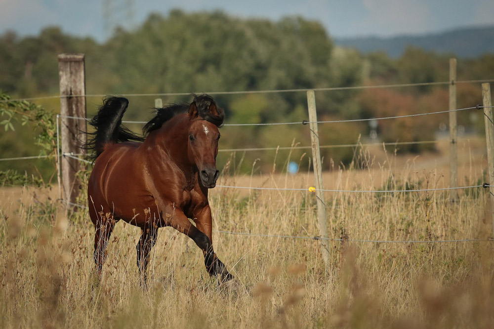 Arabian Horse bay color
