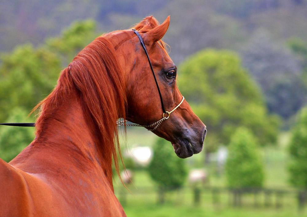 Arabian Horse head close up