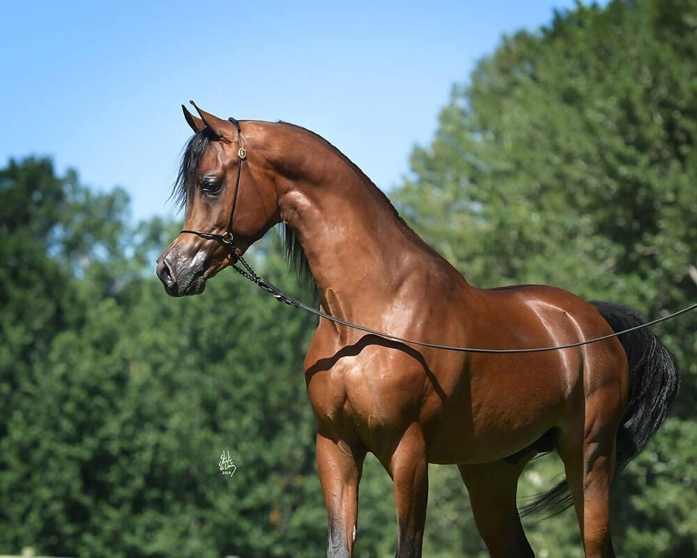 Arabian horse El Rey Magnum RCF