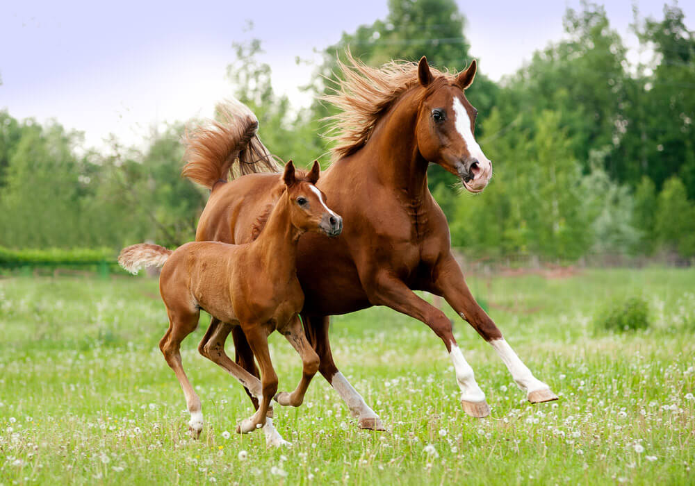 Arabian horse and foal running
