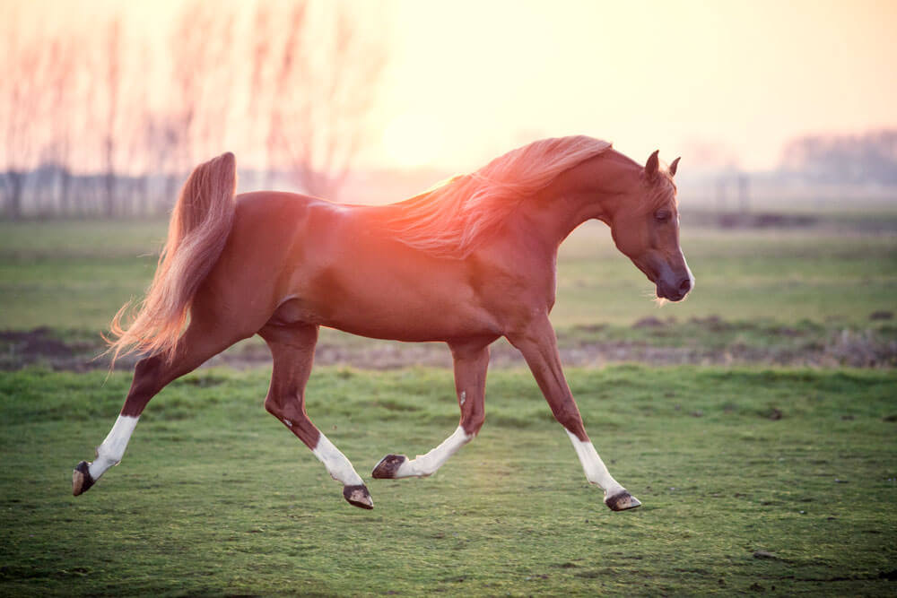 Arabian horse is running on the field