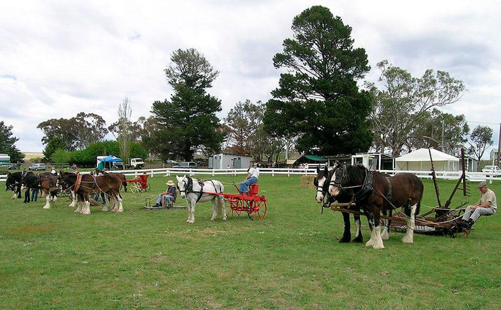 Australian Draught Horse image