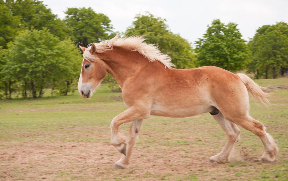 Belgian Draft Horse image