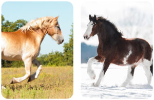 Belgian horse vs Clydesdale Horse