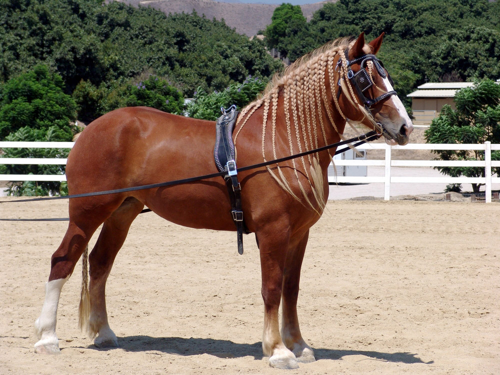 Belgian horse with braids