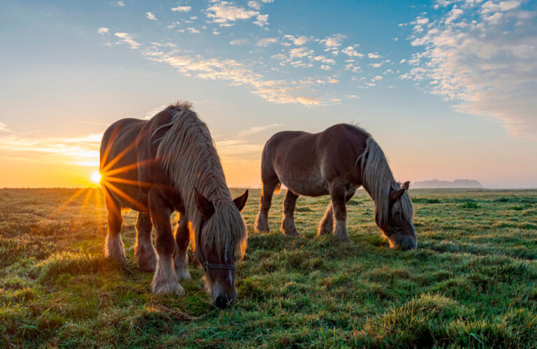 Belgian horses at sunrise