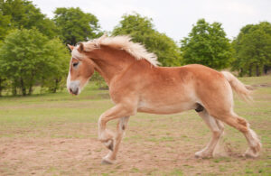 Blond Belgian draft horse galloping