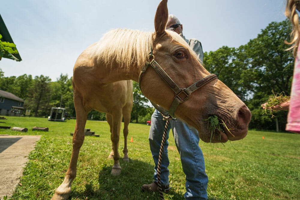 Close wide angle of a horse eating grass
