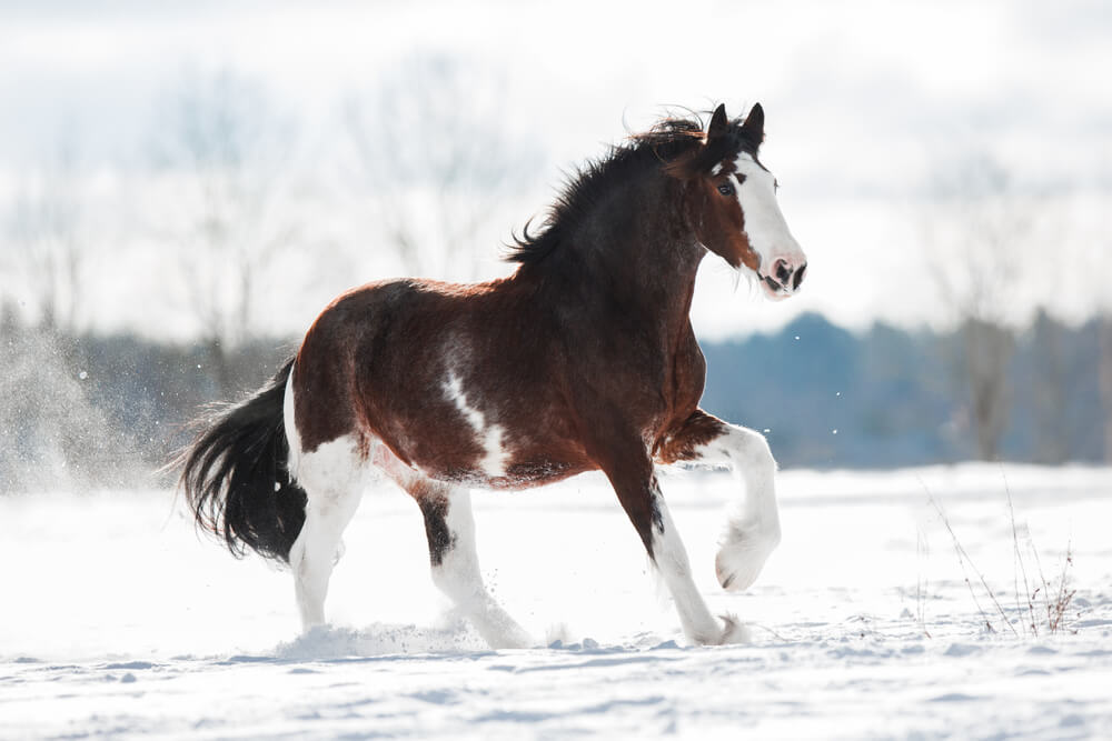 Clydesdale horse image
