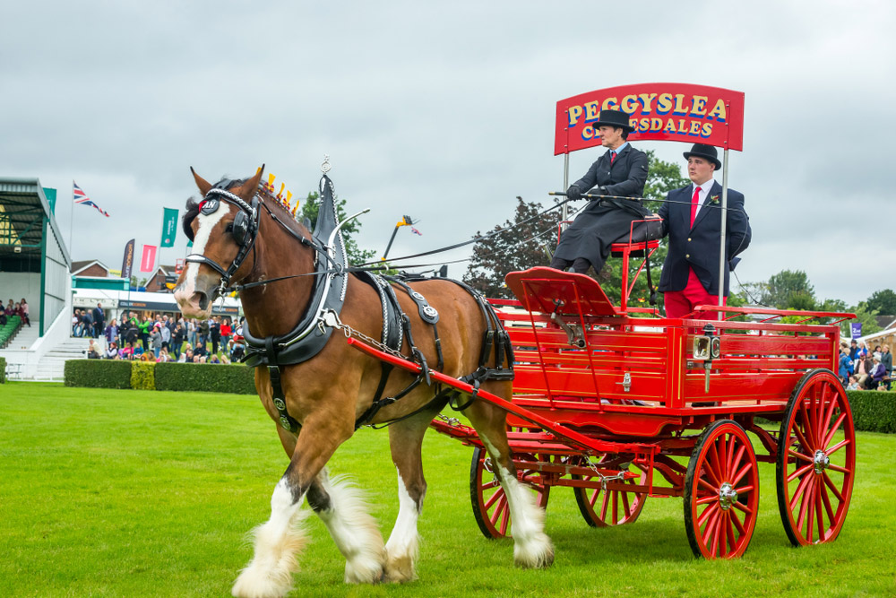 Clydesdale horse is performing in driving
