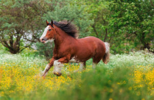 Clydesdale horse is running