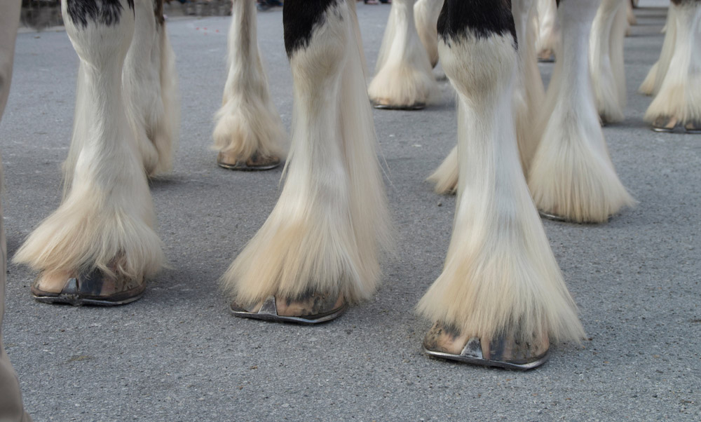 Clydesdale horse with white feathering