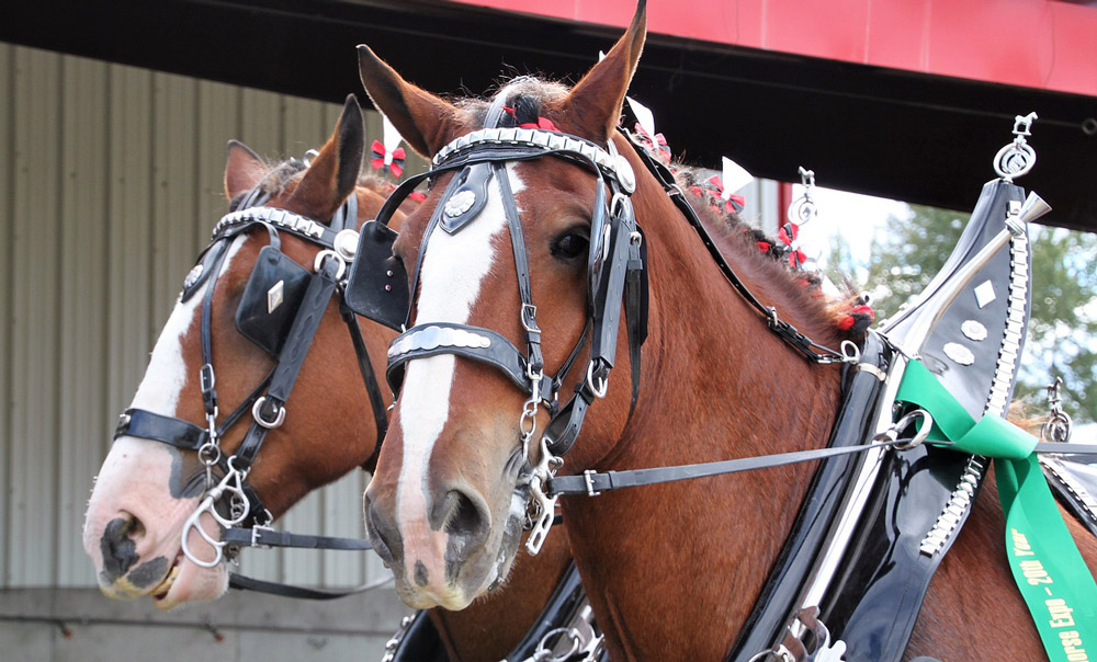 Clydesdale horses for parade show