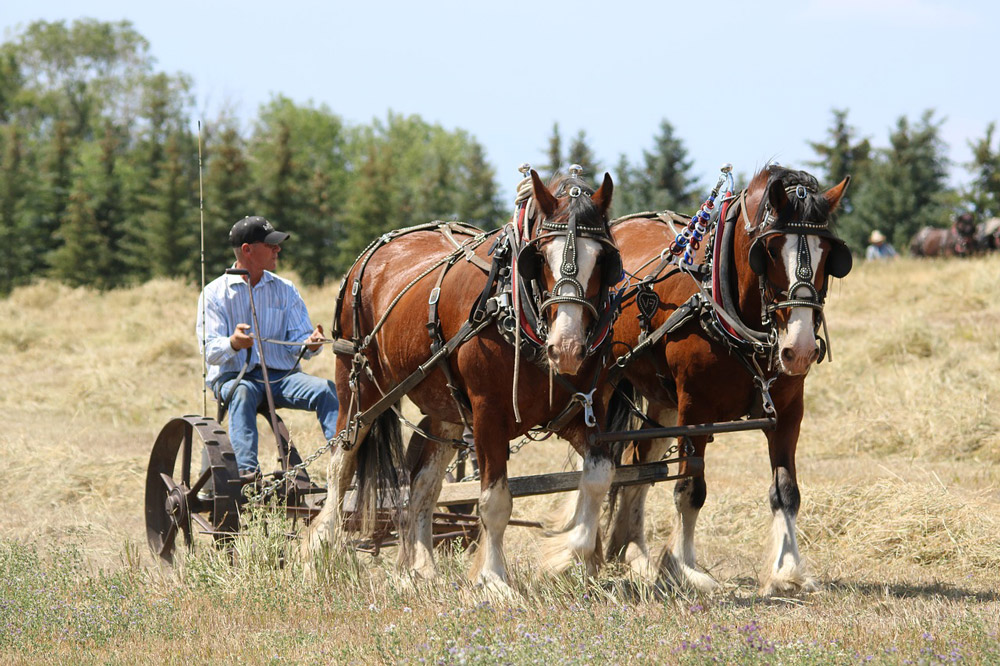 Clydesdale horses used in farm work