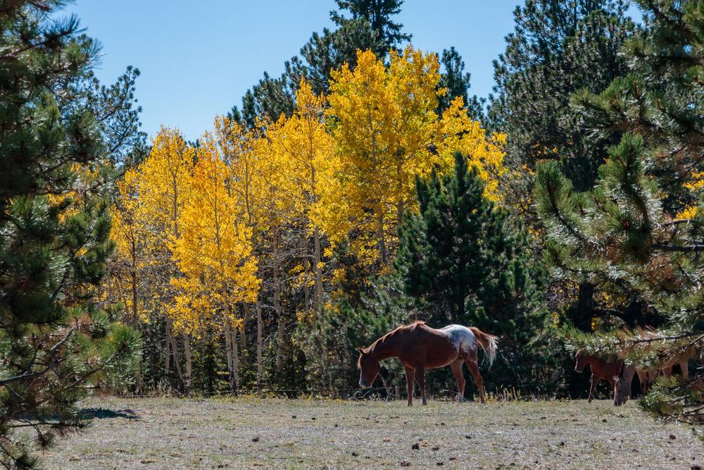 Colorado Ranger Horse grazing around