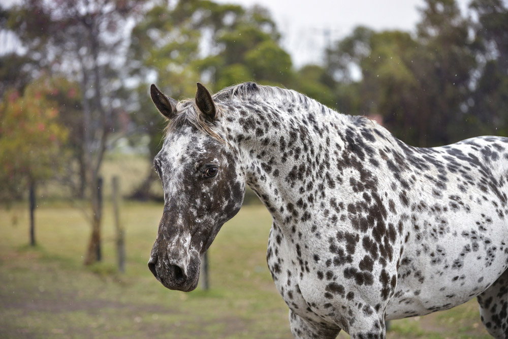 Colorado Ranger Horse leopard spotted coat