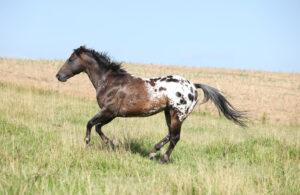 Colorado Ranger Horse running