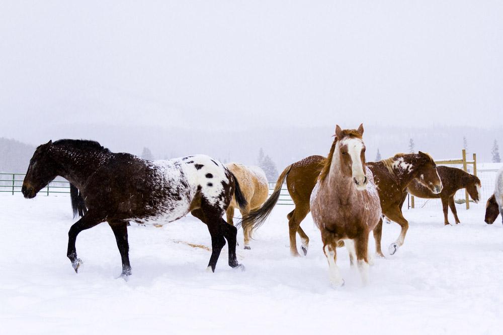 Colorado Ranger Horses in winter