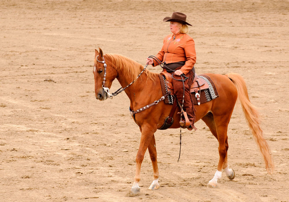 Cowgirl is riding an American Saddlebred