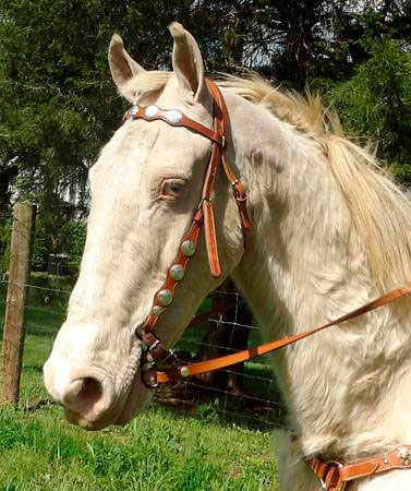 Cremello horse is wearing bridle