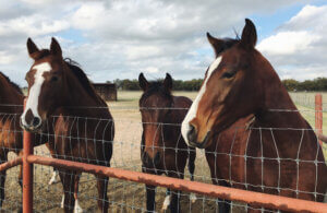 Dark bay horses over a fence
