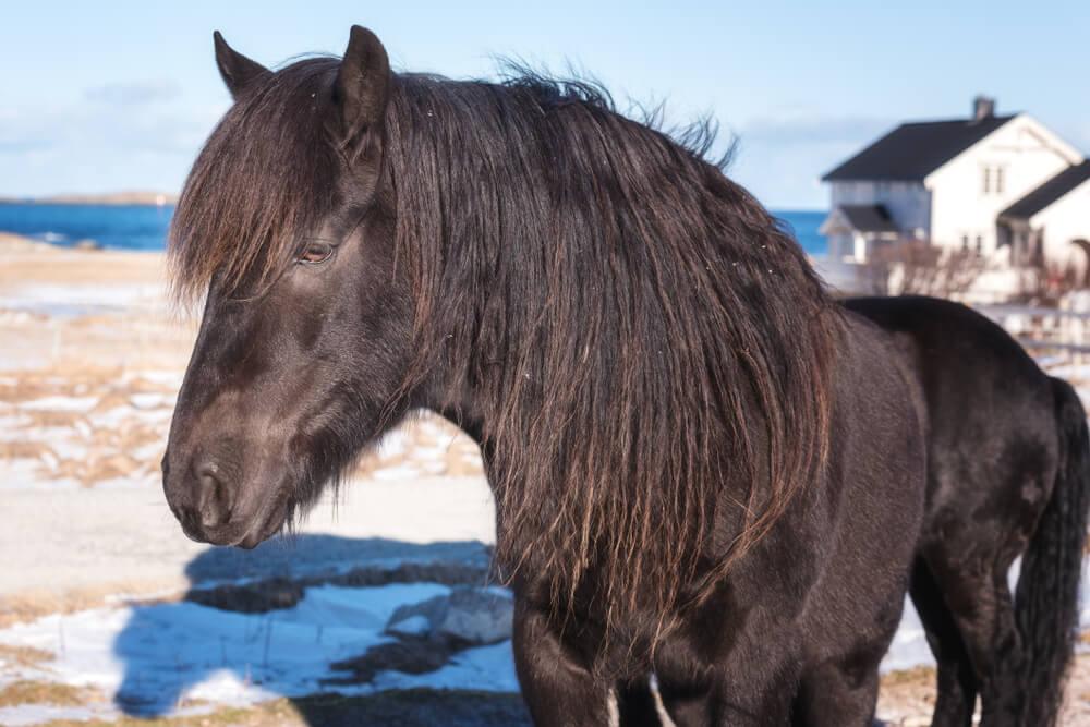 Dole Gudbrandsdal horse image