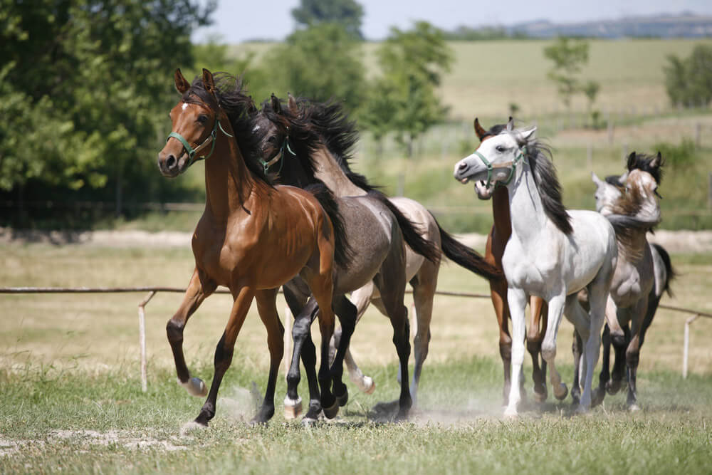 Domestic arabian horses of different colors