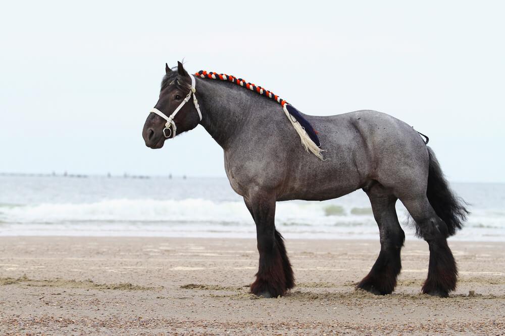 Dutch Draft Horse image