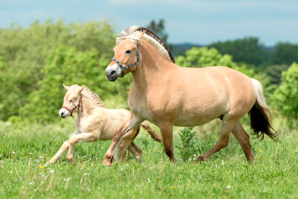 Fjord adult and baby horses are running