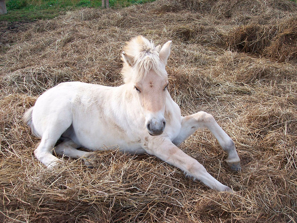Fjord foal resting on hay
