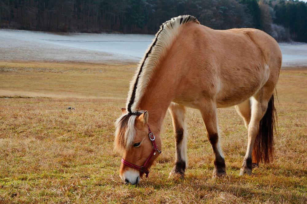 Fjord horse is grazing around