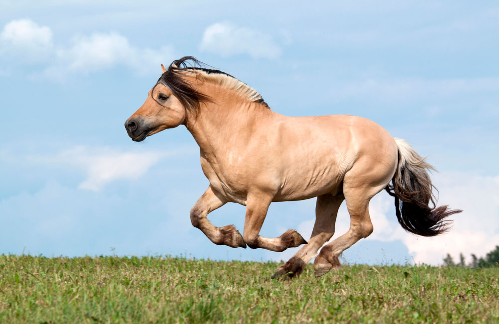 Fjord horse is running