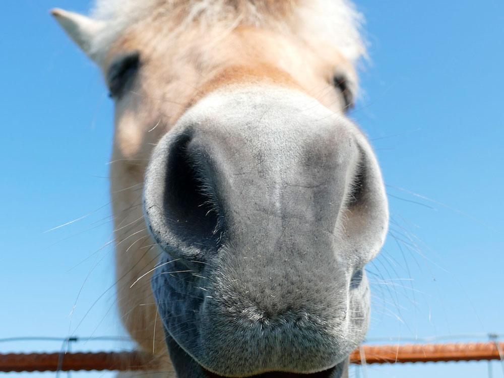 Fjord horse muzzle close view