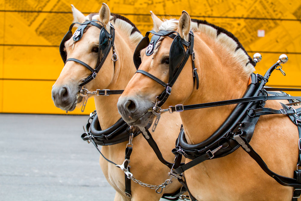 Fjord horses are tacked on show