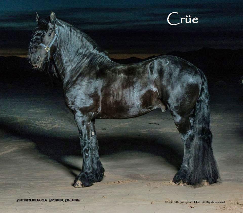 Friesian horse Baroque Type
