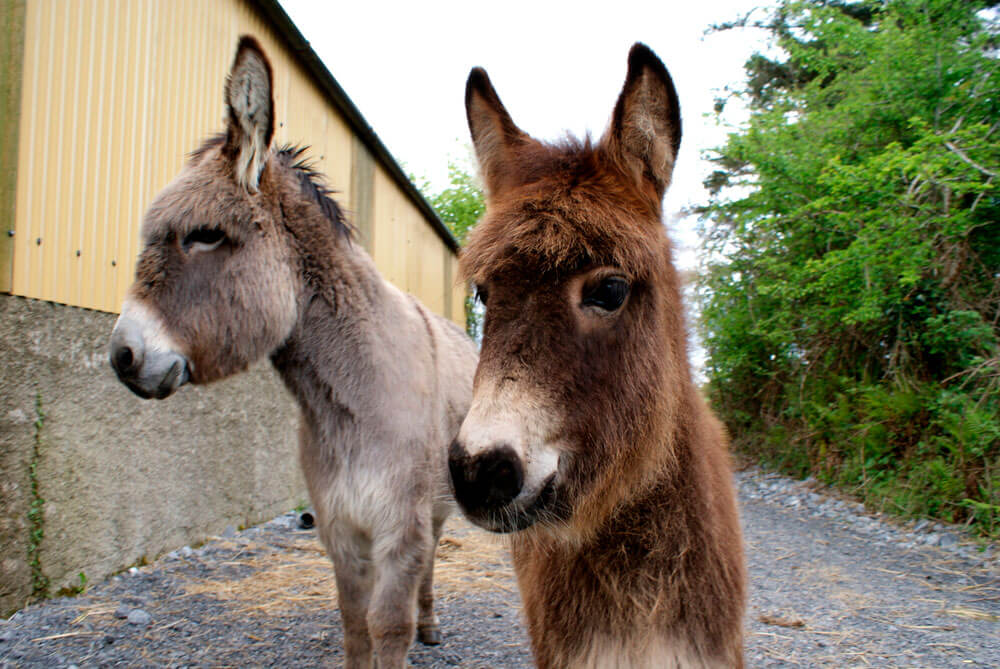 Gray mama donkey and brown hinny together