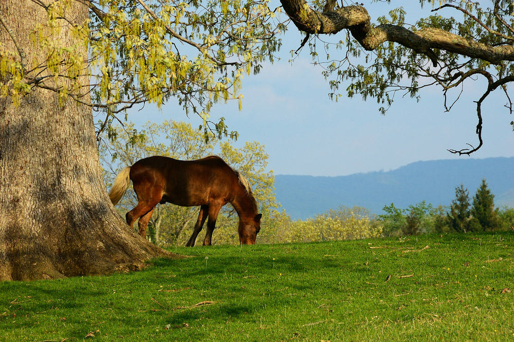 Hackney Horse grazing outdoor