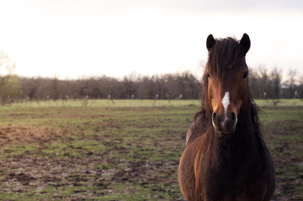 Hackney Pony front view