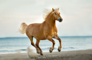 Haflinger Horse is jumping on beach