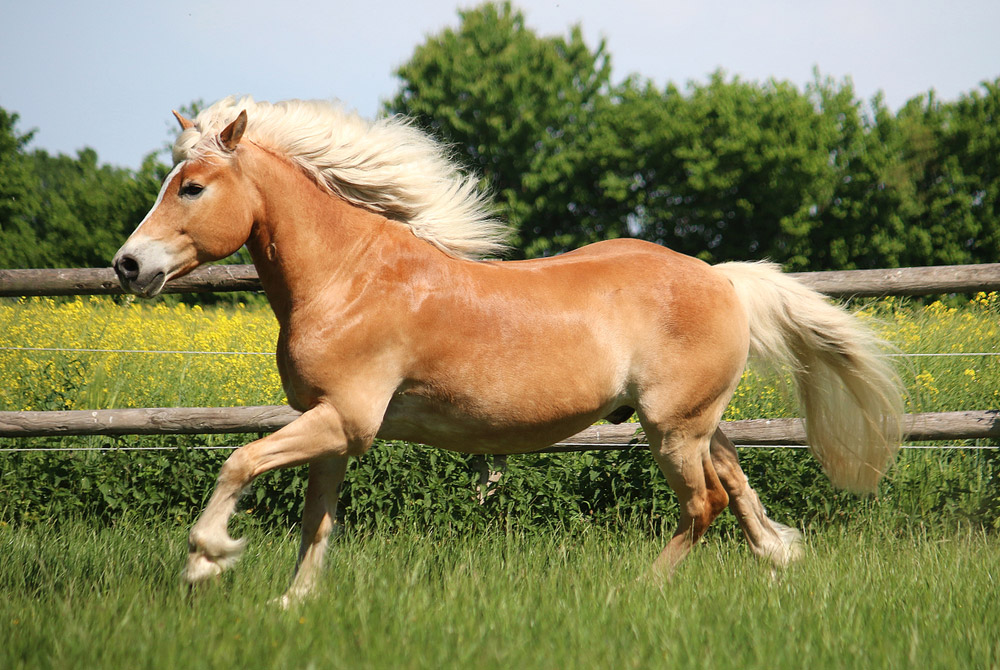 Haflinger Horse is playing around