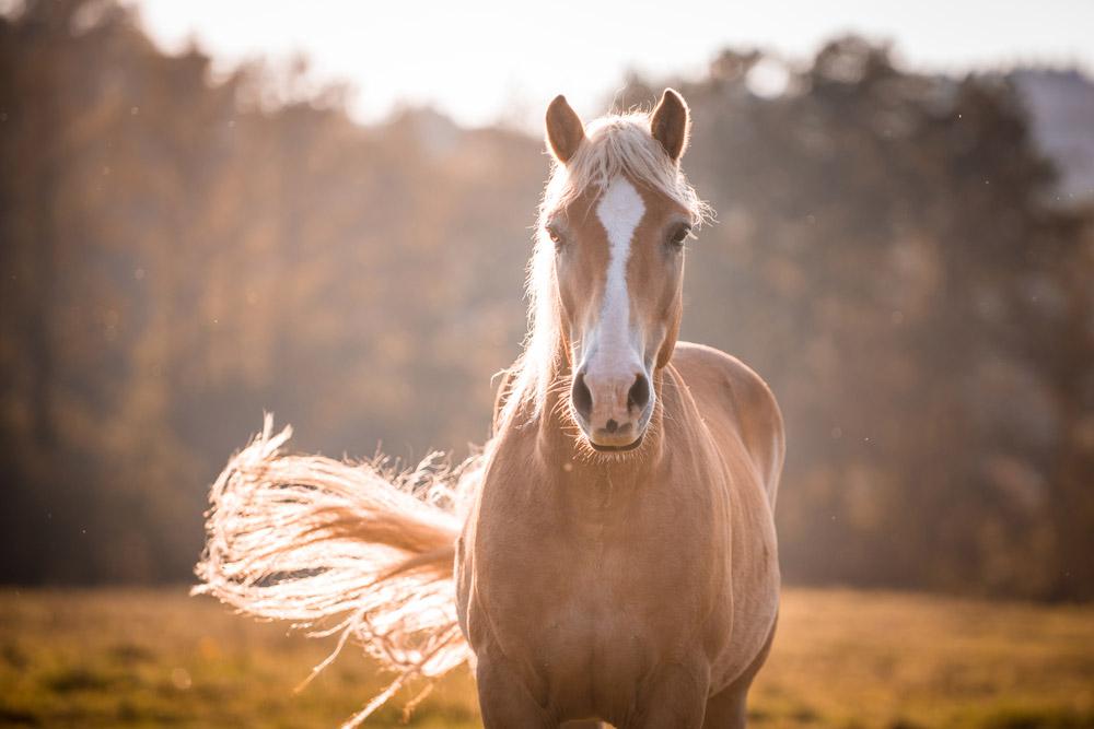 Haflinger Horse on sunset view