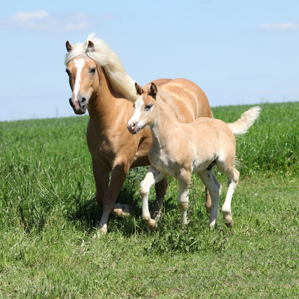 Haflinger mare and foal
